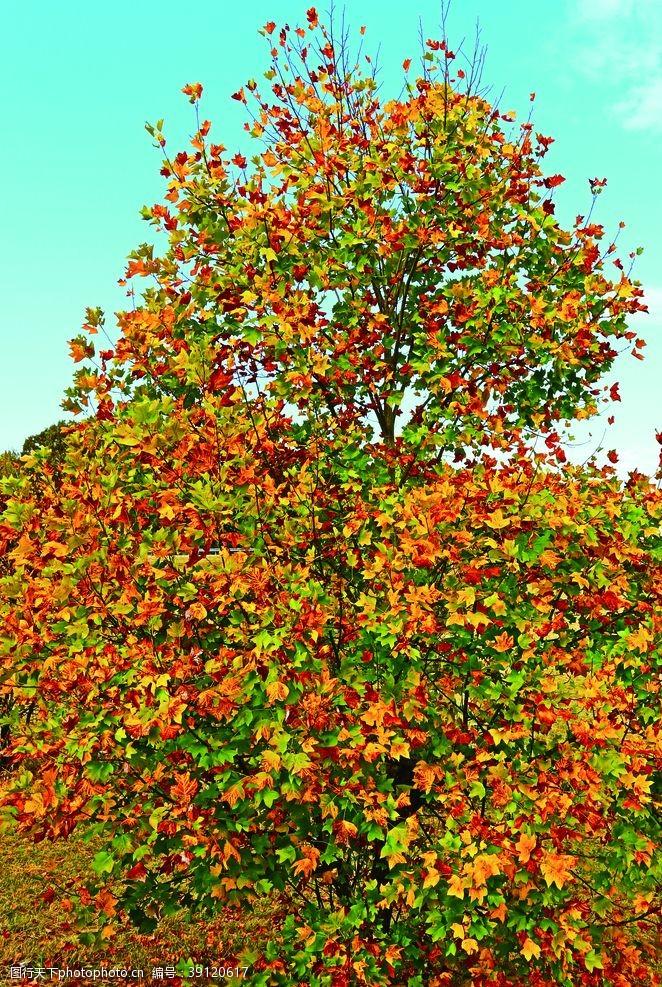 温馨图片 枫叶图片