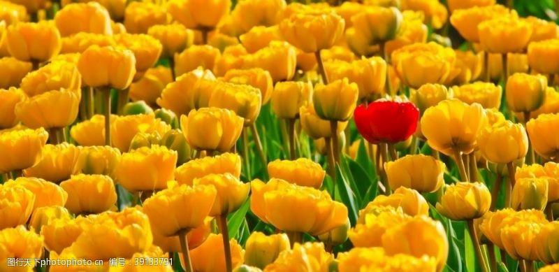 特写 黄色郁金香图片