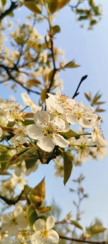 特写 梨花树图片
