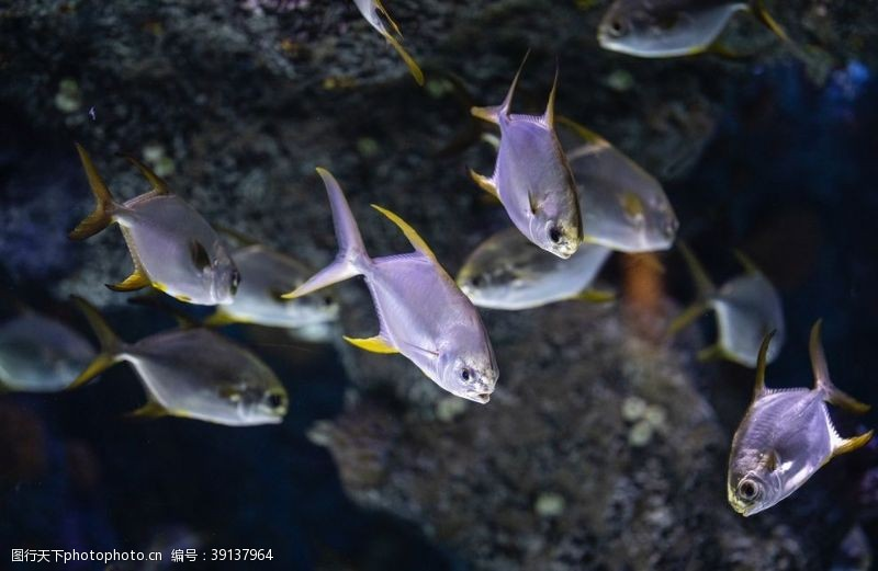 大鱼 热带鱼图片