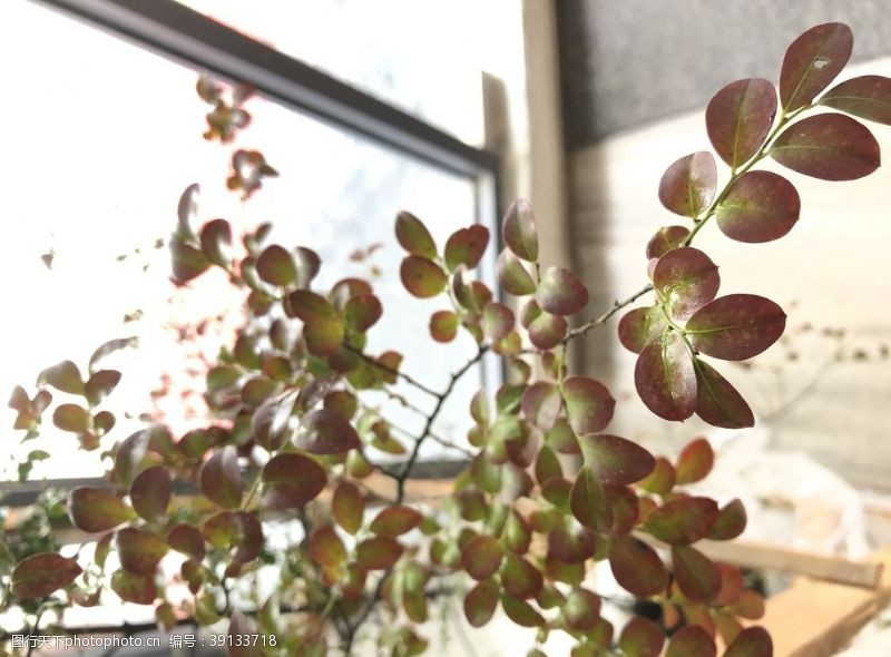 北欧 小叶紫檀图片
